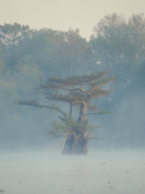Solitary Cypress