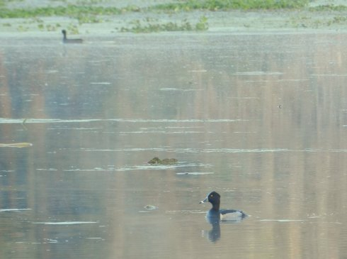 Photograph of a Ring-Necked Duck