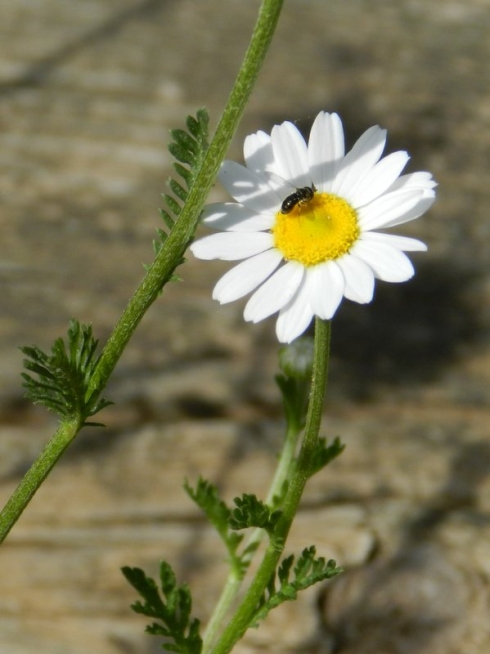 photograph of a native bee on a white and yellow daisy
