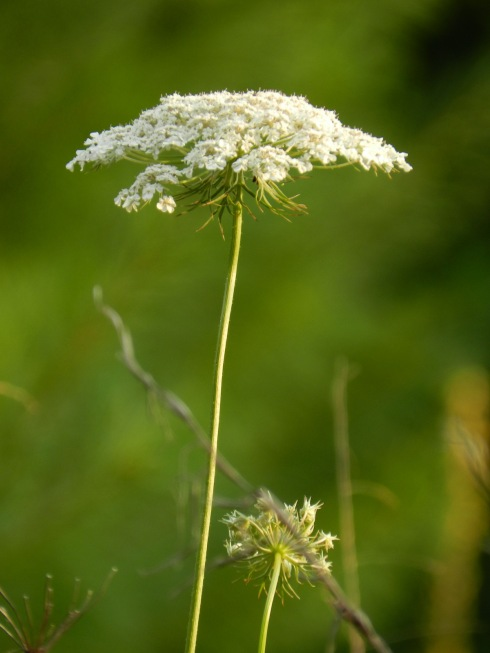 Photograph of Queen Anne's Lace against a green background