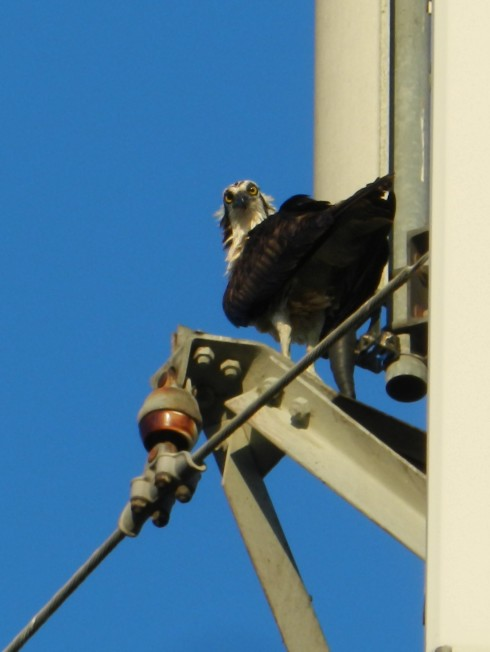 Photograph of an Osprey on a cell phone tower