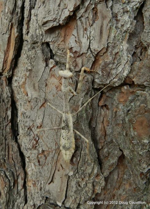macro photograph of a praying mantis on a pine tree
