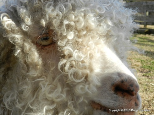 close up photograph of a sheep