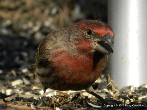 photograph of a male house finch foraging for food on the ground