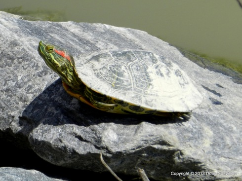 photograph of a painted turtle sunning itself on a rock