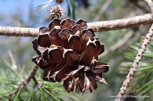 photograph of a pinecone