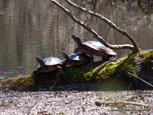 photograph of three painted turtles on a log in a swamp