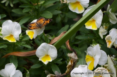 photograph of a pearl crescent butterfly on white and yellow flowers