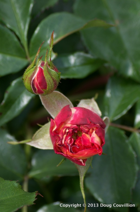 photograph of red rose buds beginning to bloom
