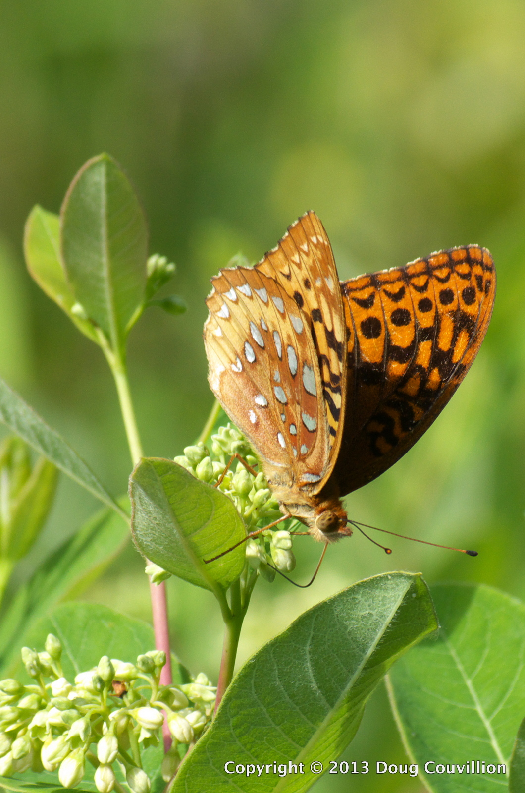 photograph of a Great Spangled Fritillary butterfly feeding on nectar