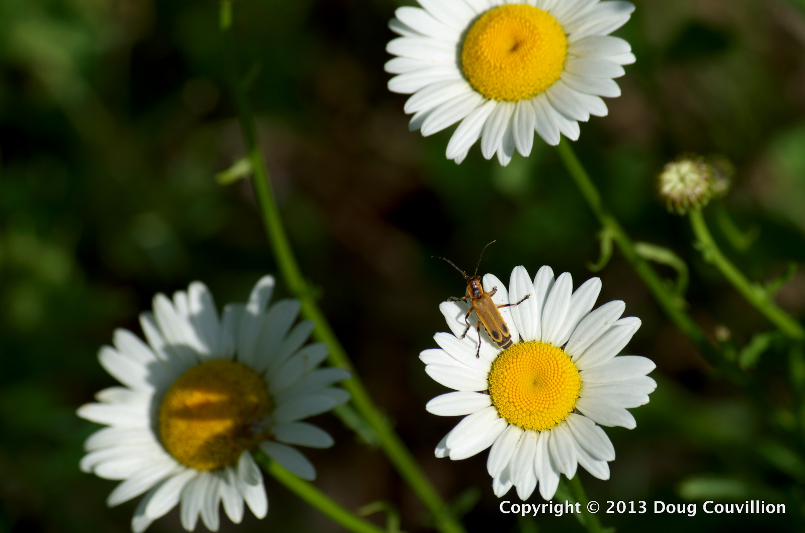 photograph of a Soldier Beetle resting on wildflowers in Powhatan County, Virginia