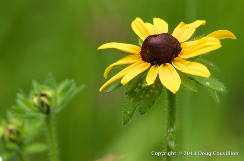 photograph of a wild black-eyed susan flower growing in a field
