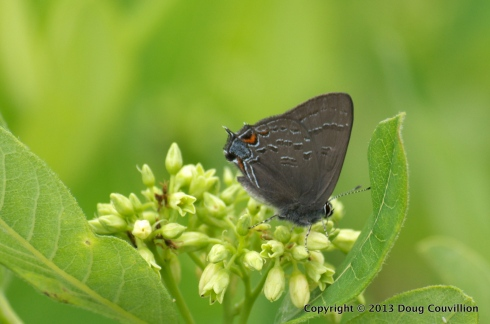 photograph of a banded hairstreak butterfly on wild flowers