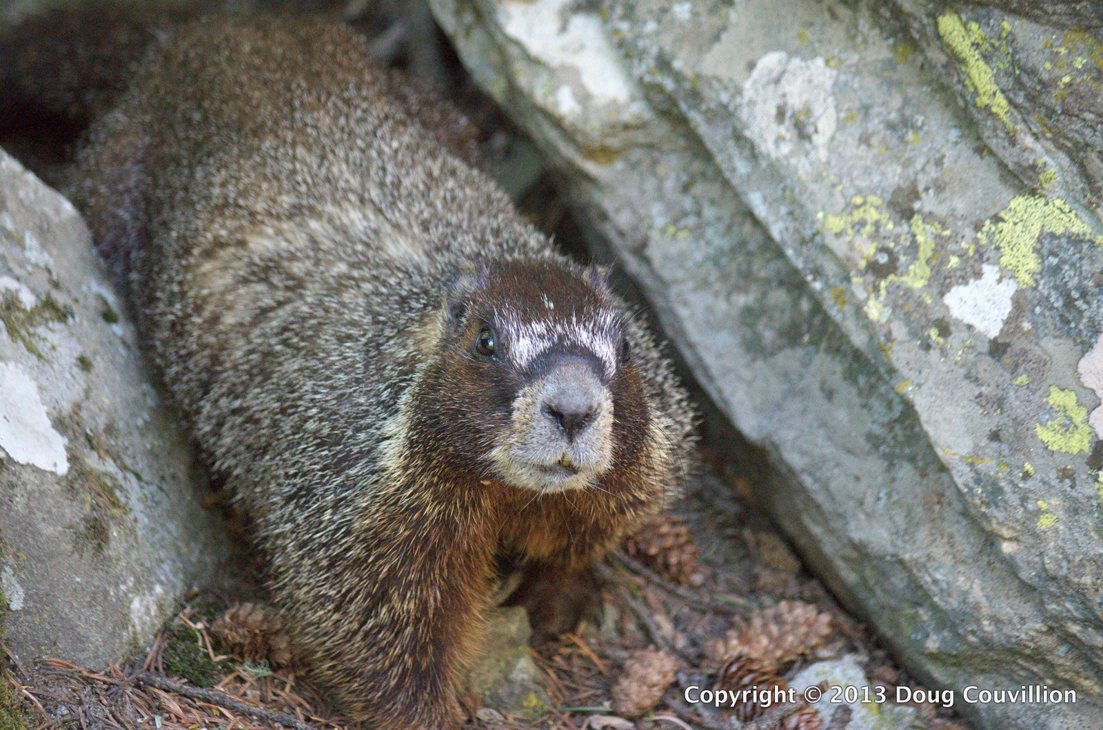 photograph of a Yellow-Bellied Marmot in Yellowstone National Park