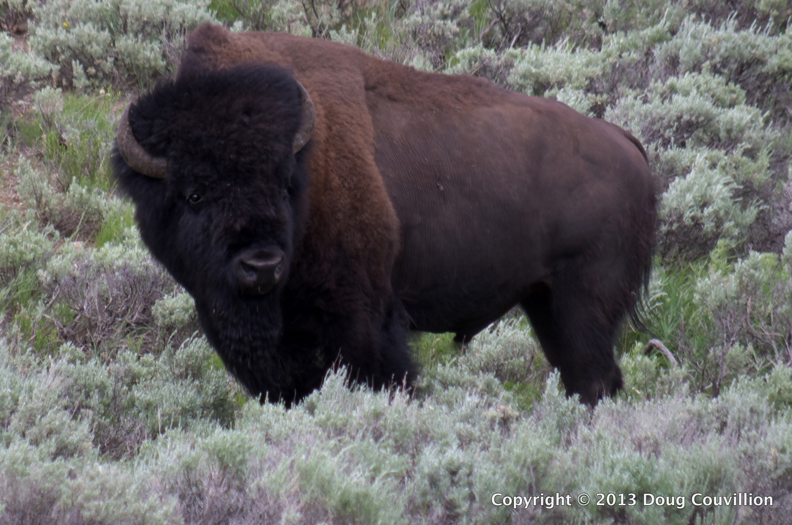 photograph of an American bison in Yellowstone National Park