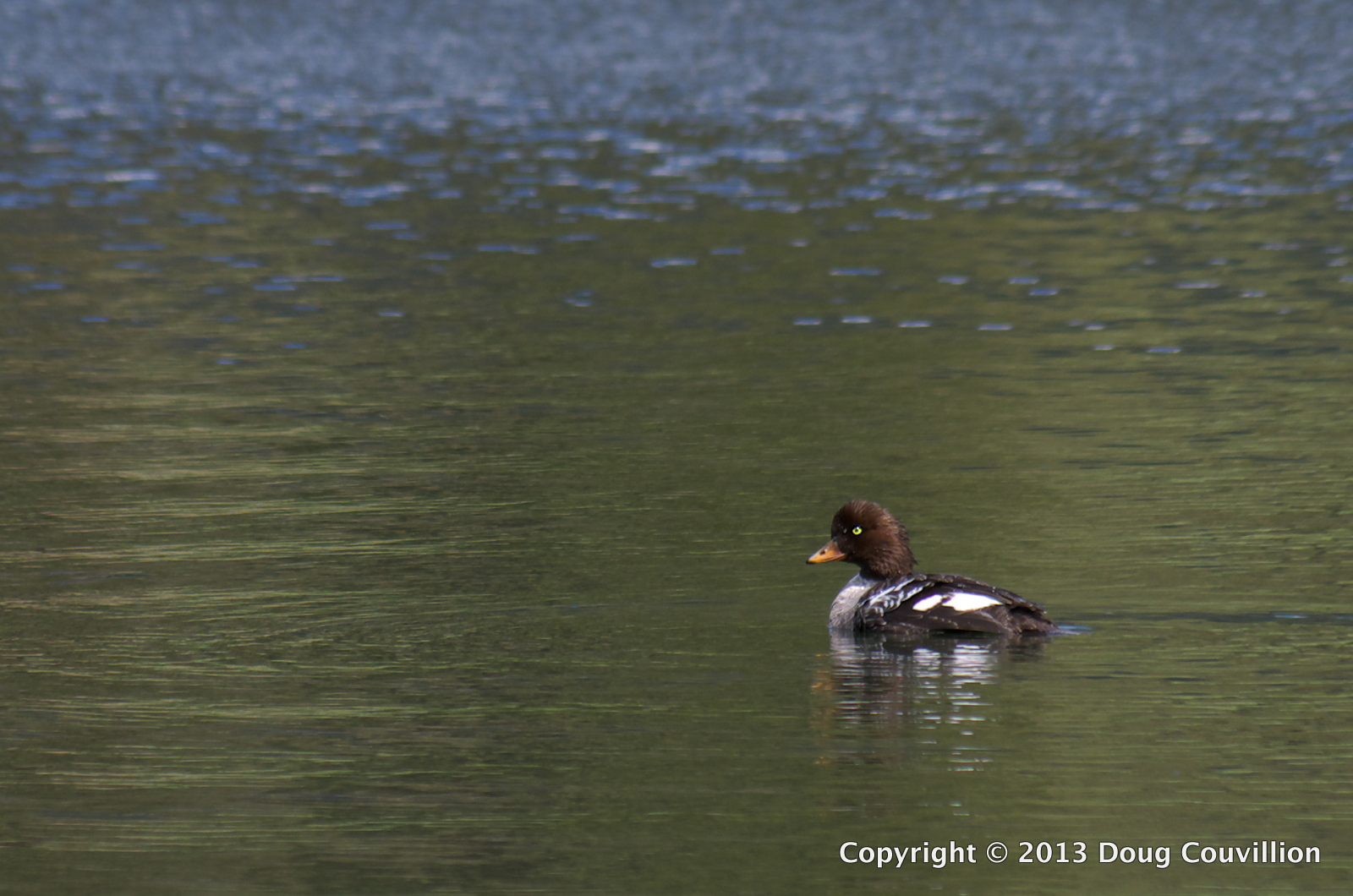 photograph of a female Barrow's Goldeneye duck on Trout Lake in Yellowstone National Park, WY