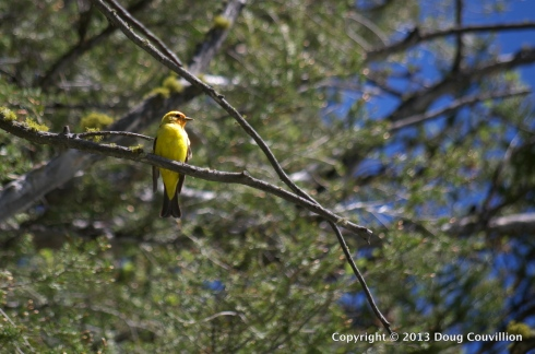 photograph of a Western Tanager in a pine tree in Yellowstone National Park