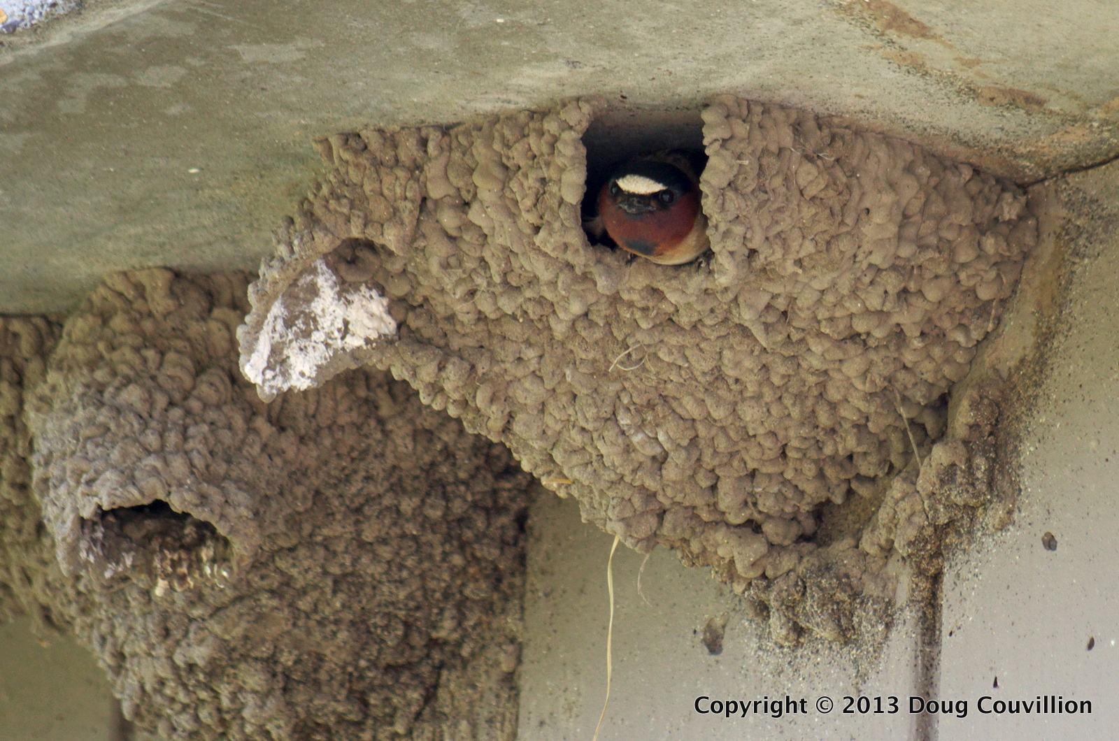 photograph of Cliff Swallow nests under the eaves of a building in Yellowstone National Park