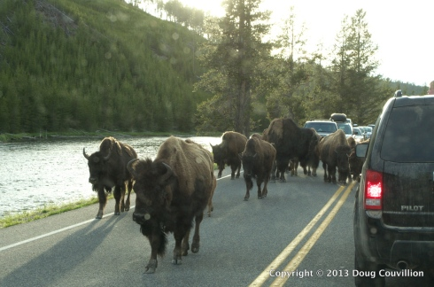 photograph of a herd of bison taking up the road in Yellowstone National Park