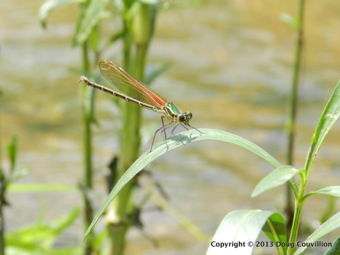 photograph of a green and red damselfly on the Rappahannock River in Virginia