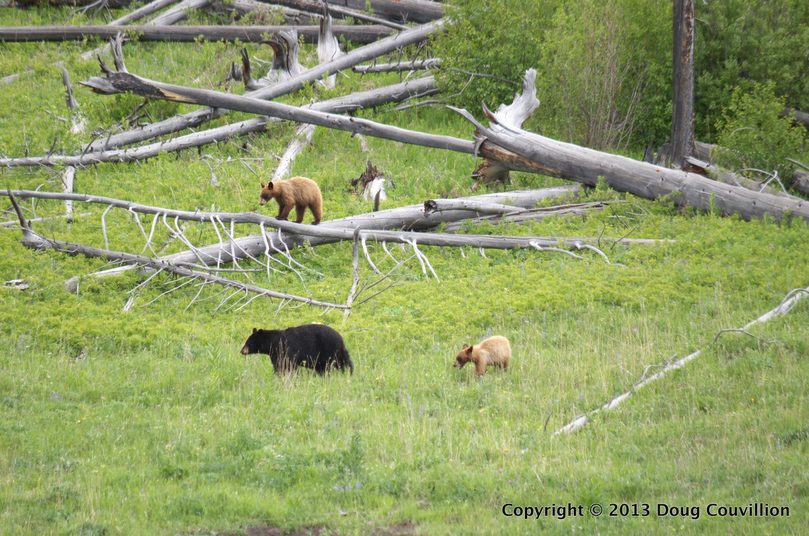 photograph of a black bear and two cubs in Yellowstone National Park