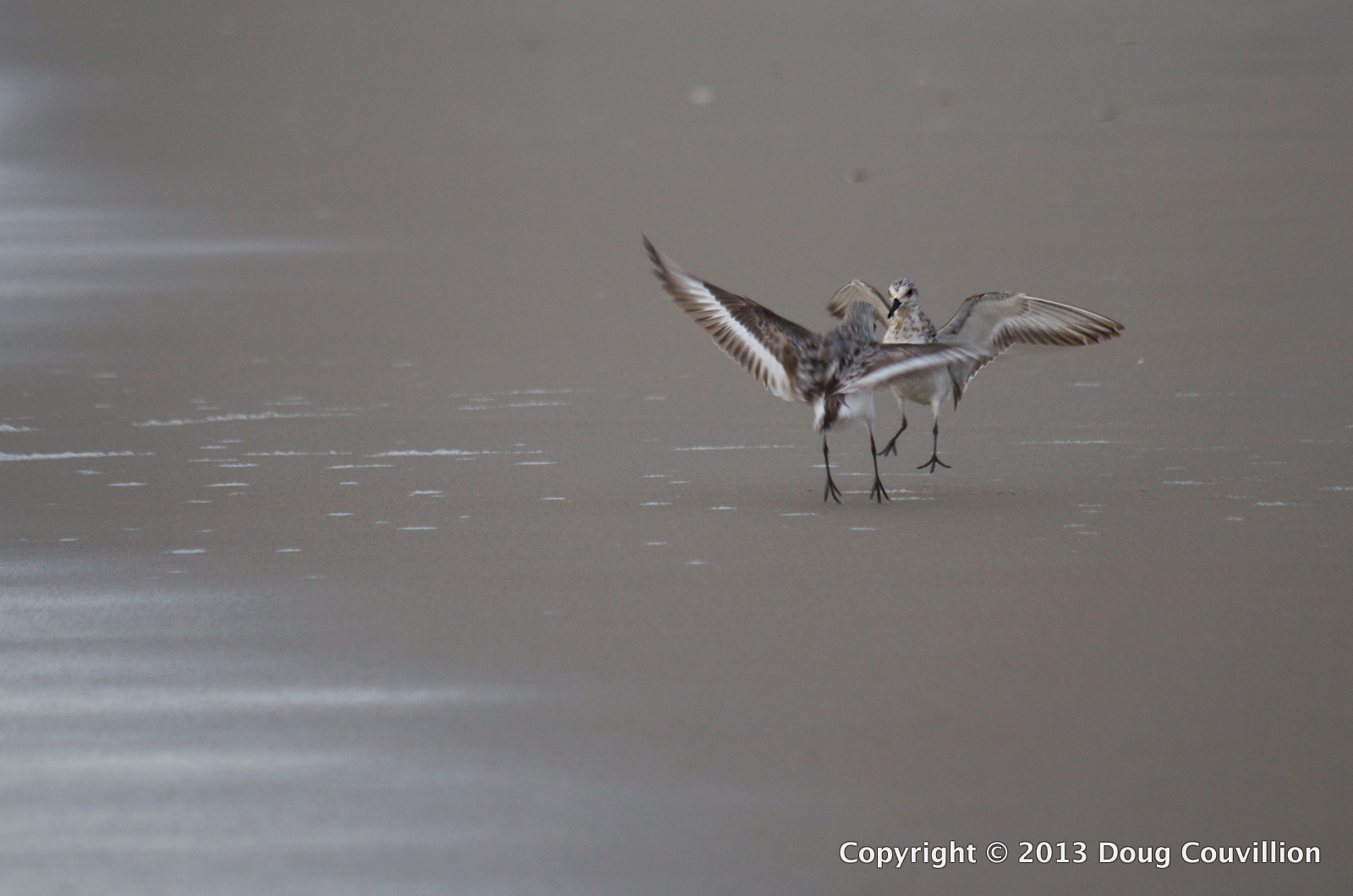 photography of two sanderlings on the beach in Corolla, NC