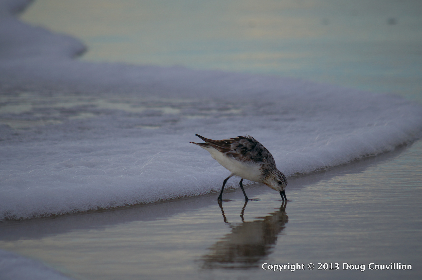 photograph of a sanderling digging in the surf