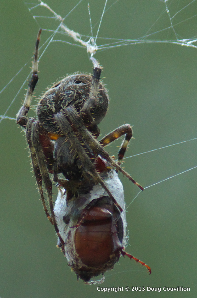 macro photograph of a spider eating a beetle