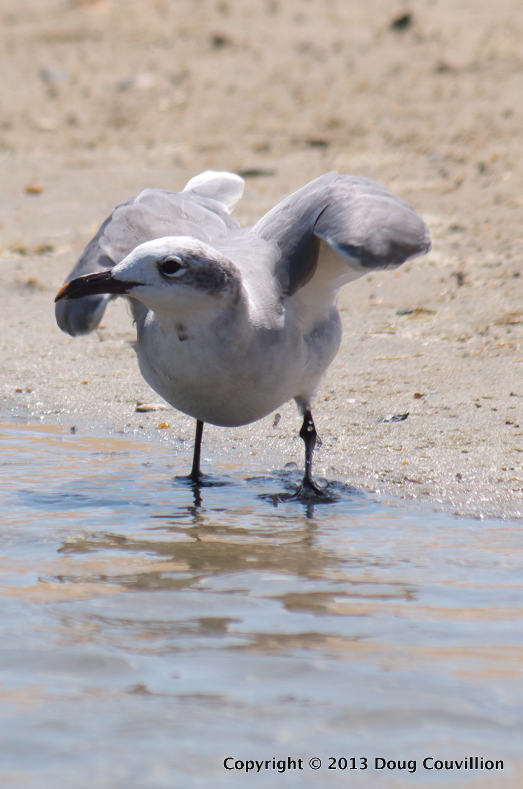 photograph of a juvenile laughing gull in North Carolina