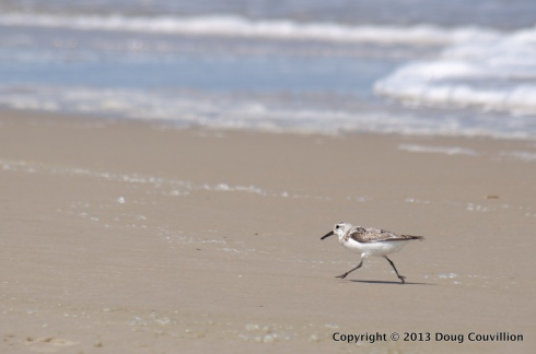 photograph of a Sanderling running on the beach in Corolla, North Carolina