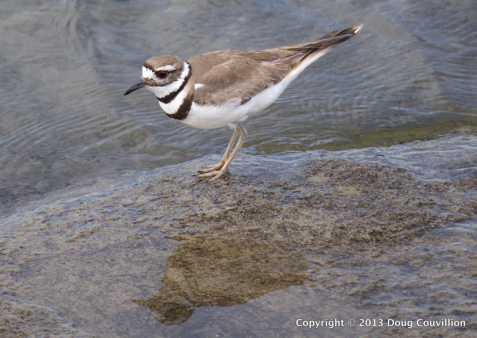 color photograph of a killdeer standing on a rock near the edge of a lake