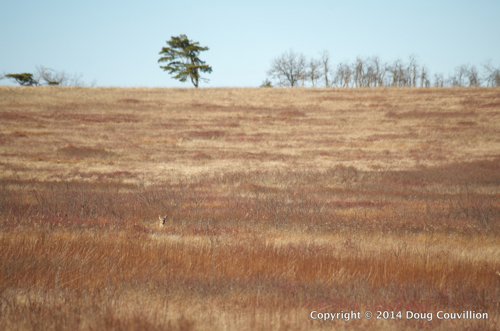Photograph of a whilte-tailed deer resting in a meadow