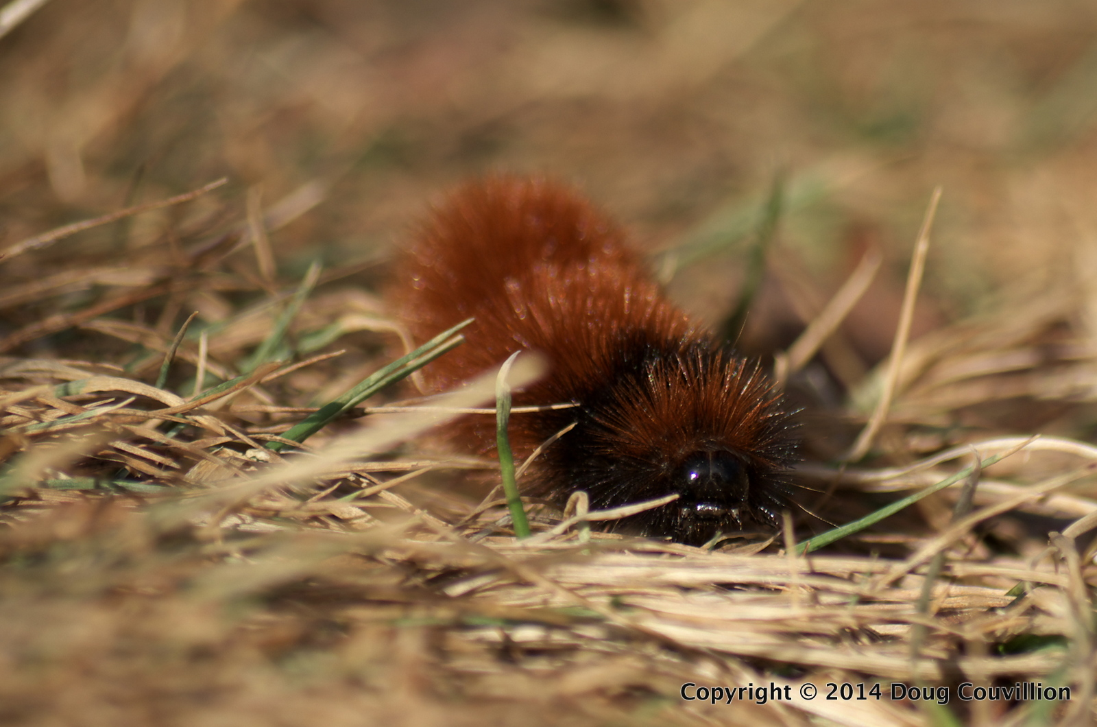 photograph of a wooly bugger or wooly bear caterpillar