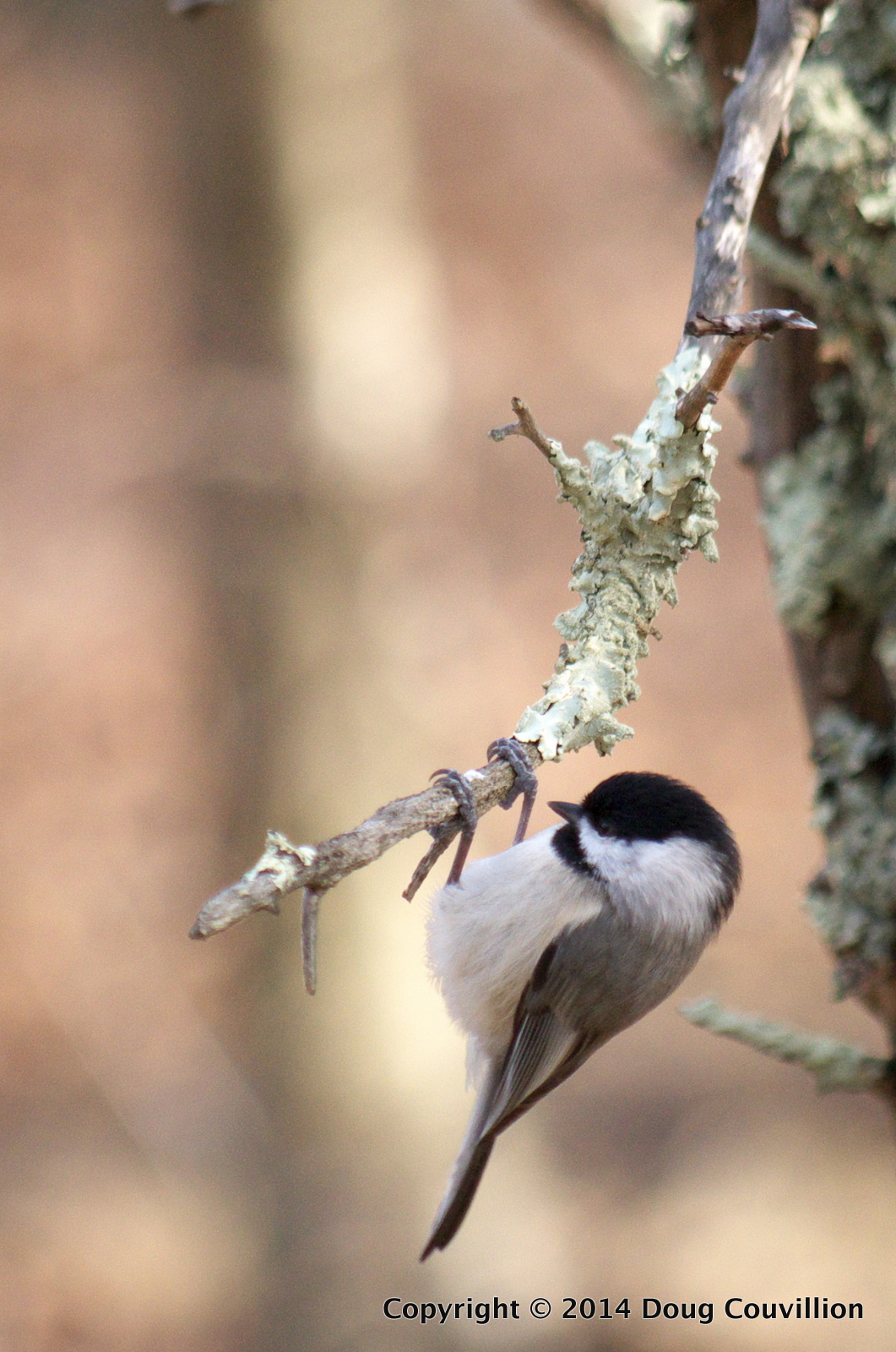 Photograph of a Carolina Chickadee hanging under a lichen covered branch