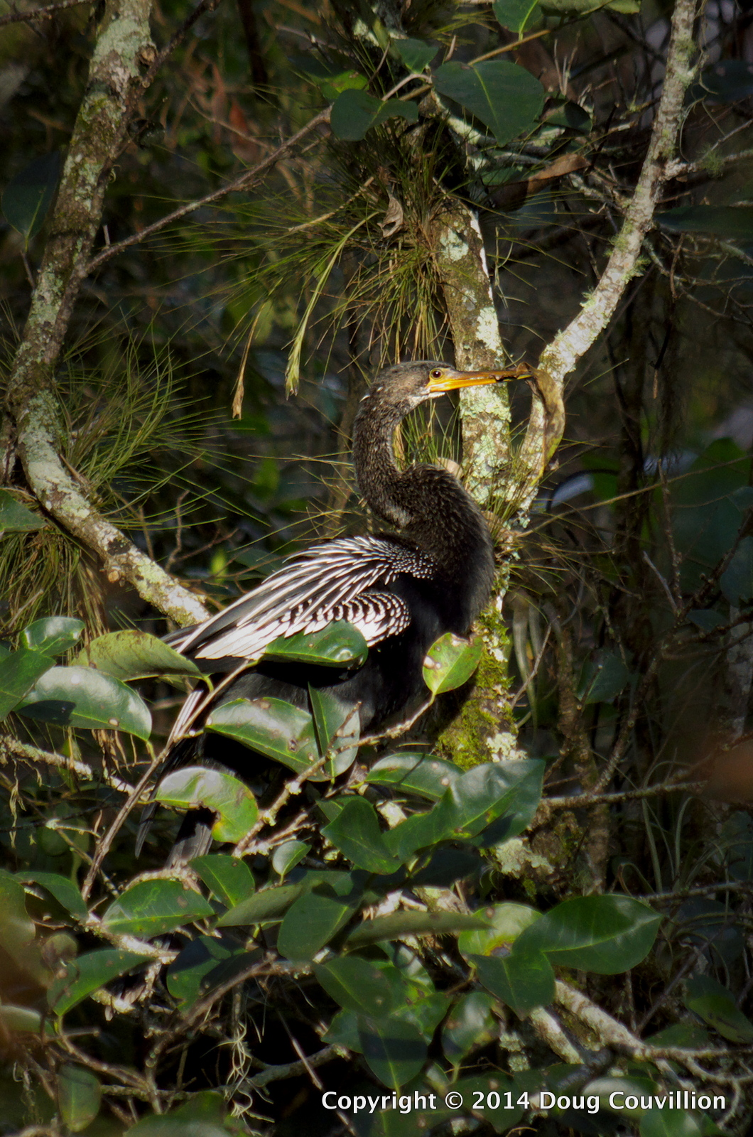 photograph of an Anhinga in a mangrove tree