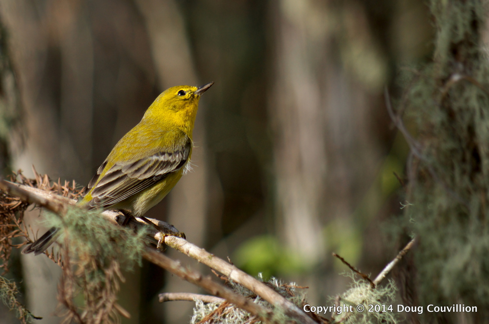 photograph of a Pine Warbler in Corkscrew Swamp Sanctuary, Naples, Florida