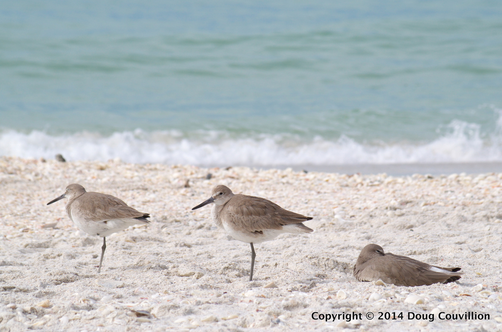 photograph of three Willets resting on a beach in Florida