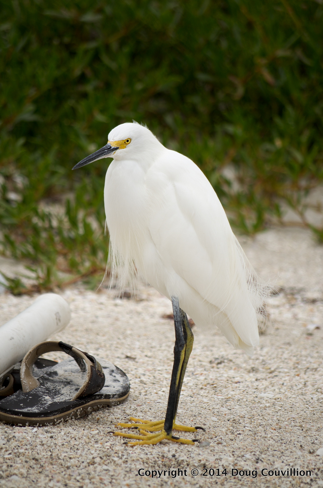 photograph of a Snowy Egret standing on a sandy beach next to a sandal