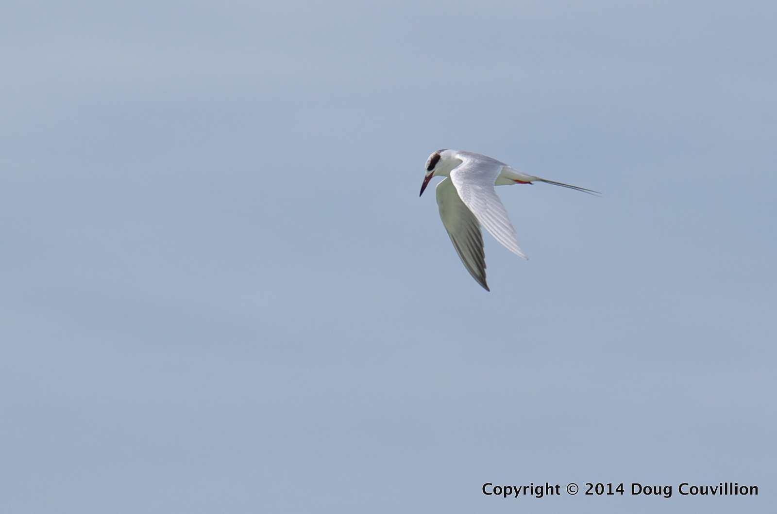 photograph of a Forster's Tern hovering above the Gulf Of Mexico