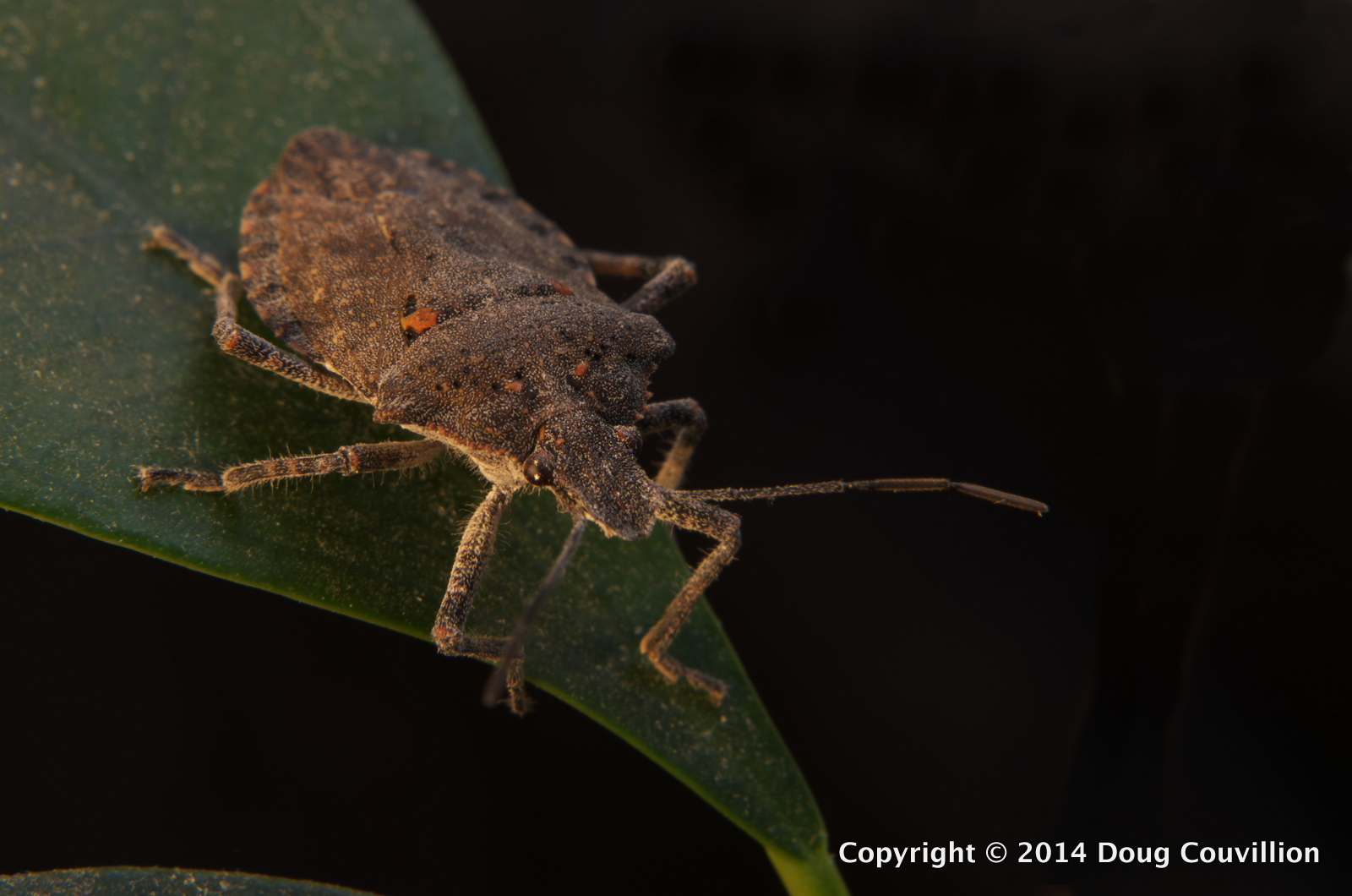 macro photograph of Brochymena arborea, rough stink bug, on a ficus leaf