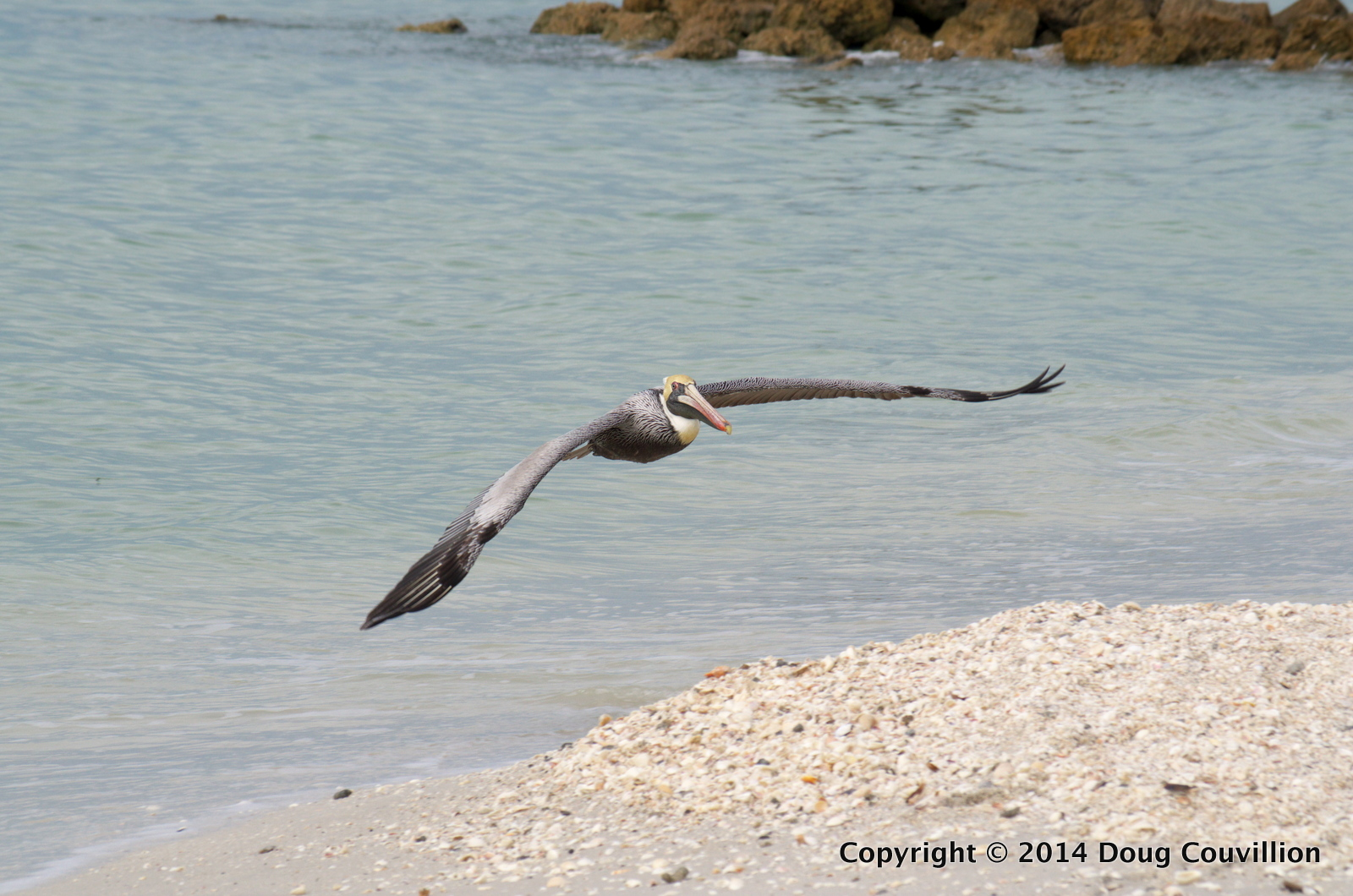 photograph of a brown pelican landing on a beach on the Florida Gulf Coast