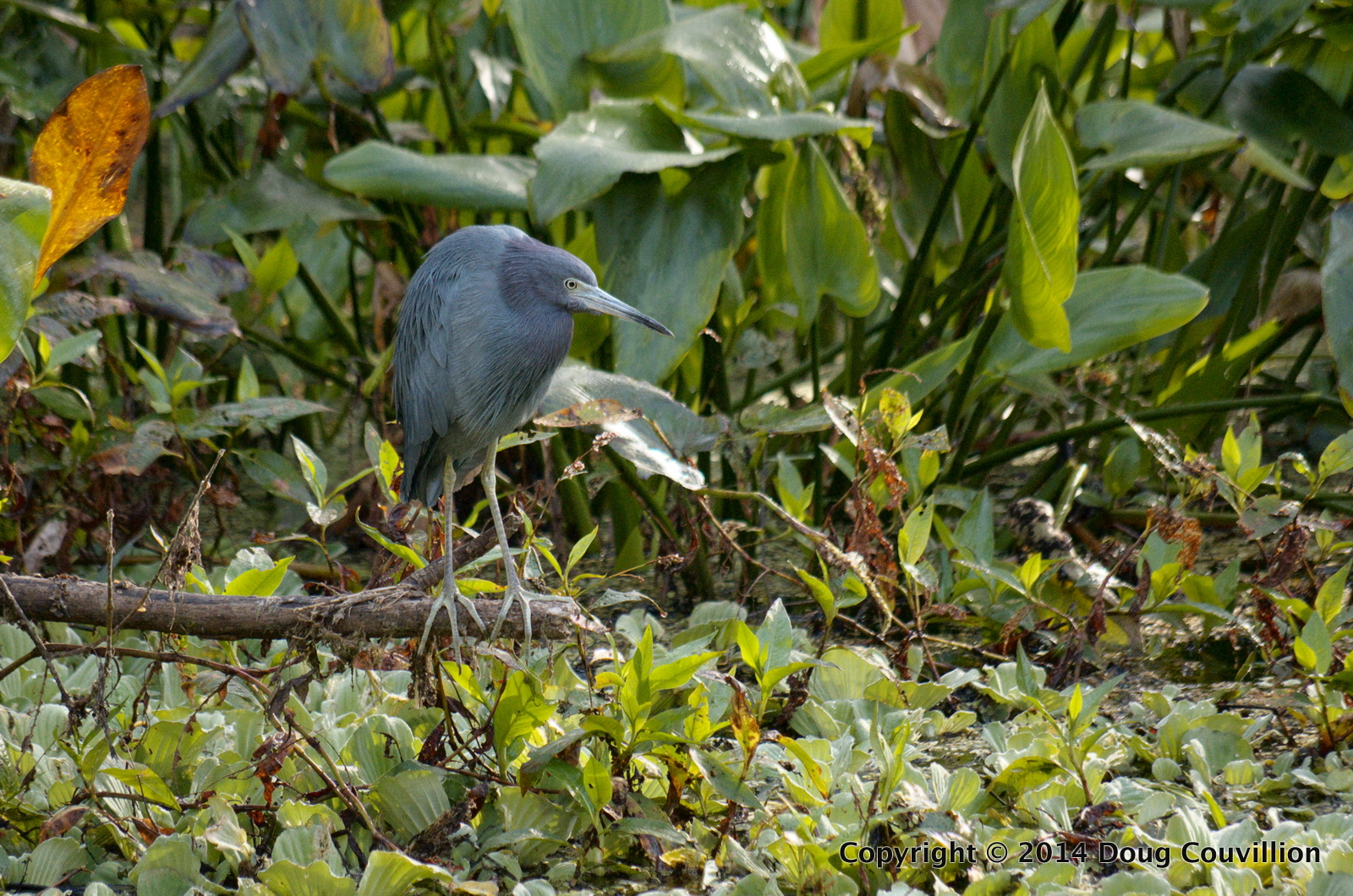 Photograph of a Little Blue Heron at Corkscrew Swamp Sanctuary near Naples, Florida
