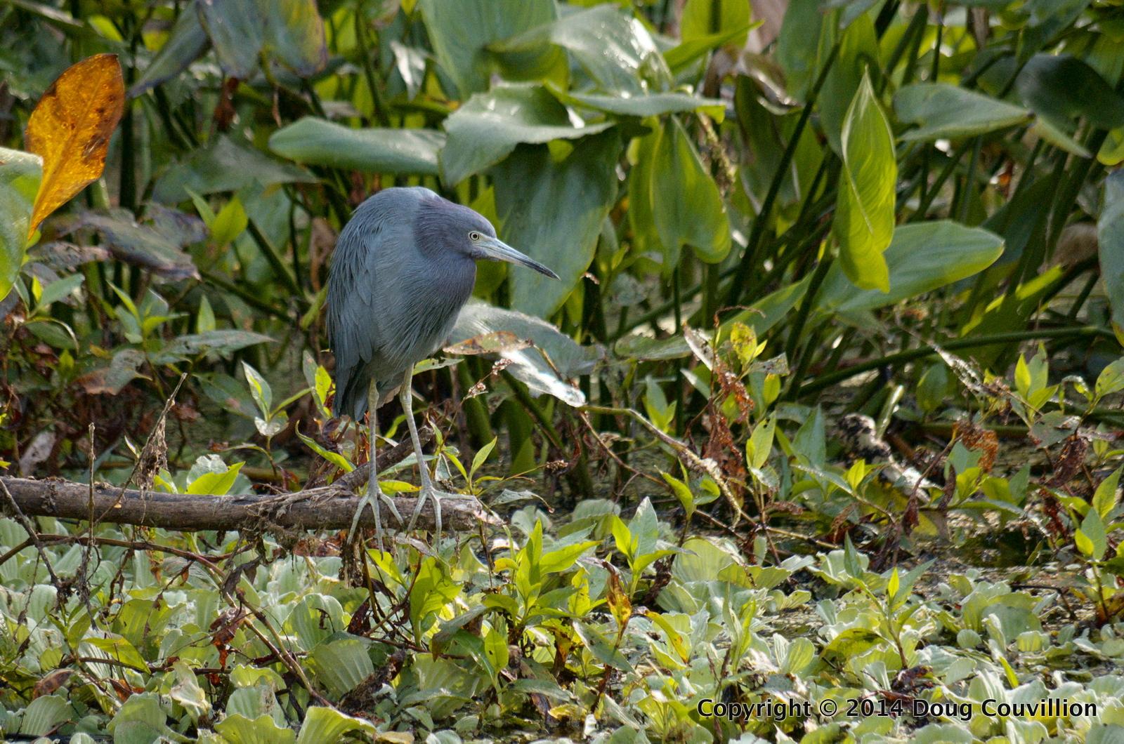 Photograph of a Little Blue Heron at Corkscrew Swamp Sanctuary near Naples, Florida