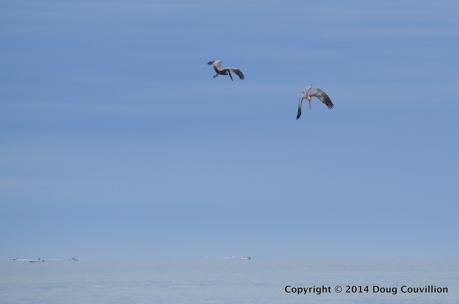 Photograph of two brown pelicans, one of them diving, off the coast of Florida