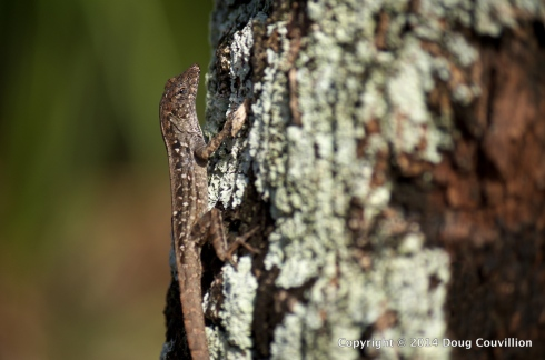 photograph of a brown anole on a tree with lichen