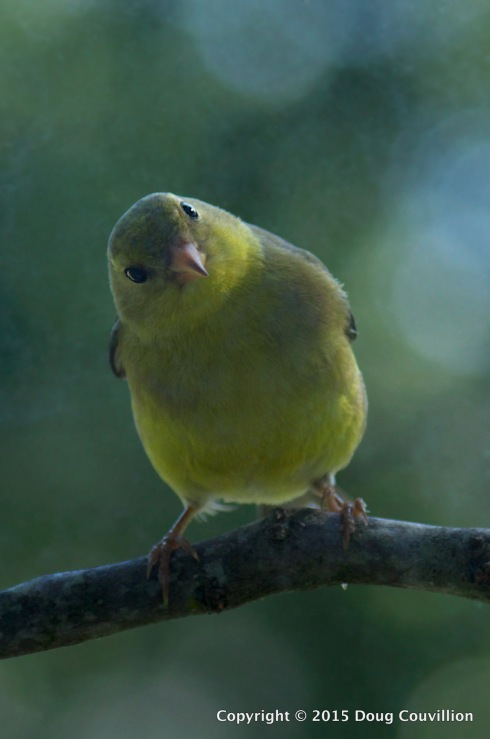 photograph of a female American Goldfinch on a branch