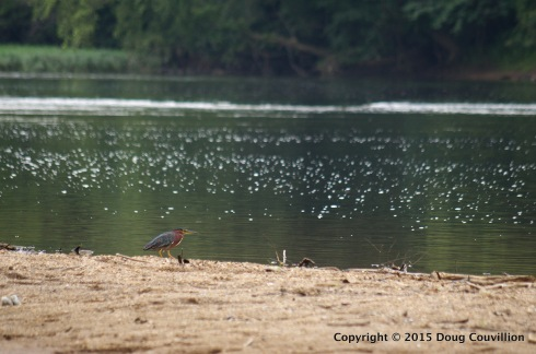 photograph of a Green Heron on the Rappahannock River in Virginia