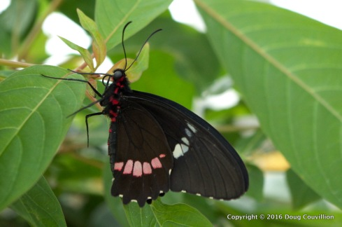 Photograph of a Pink Cattle Heart butterfly