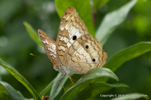 Photograph of a small, brown butterfly