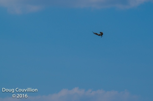photograph of an Osprey hovering in flight, copyright 2016 by Doug Couvillion